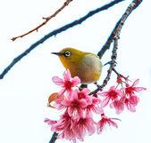 Bird on Cherry Blossom — Stock Photo