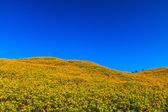 Mexican sunflowers in field — Stock Photo
