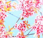 Pássaro de flor de cerejeira — Fotografia Stock