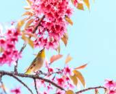 Bird on Cherry Blossom — Foto de Stock