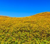 Mexican sunflowers in field — Stockfoto