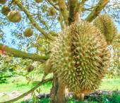 Durian Tropical fruits in Thailand — Stock Photo