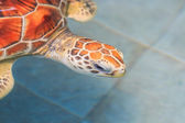 Green sea turtle in water — Stockfoto