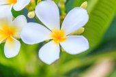 Plumeria  flowers on tree — Stock Photo
