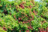Lychee fruits in Thailand — Stock Photo
