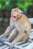 Monkey animal in Thailand — Stock Photo