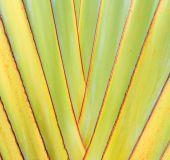 Ravenala leaf background — Stock Photo