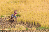 Farmers in Maehongson Province — Stock Photo
