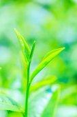 グリーンの茶畑 — ストック写真