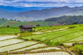 Rice fields in  Chiang Mai — Stock Photo