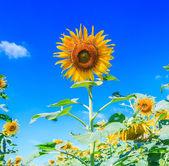 Bloeiende zonnebloemveld — Stockfoto