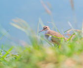 Seabird (marsh sandpiper) in Thailand — Stock Photo