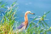 Javan Pond-Heron in Thailand — Stock Photo