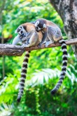 Ring-tailed lemurs  in nature — Stockfoto