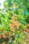 Fruits longan in Chiang Mai — Stock Photo