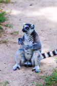 Ring-tailed lemur animal — Stock Photo