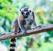 Ring-tailed lemurs  in nature — Stock Photo
