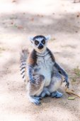 Ring-tailed lemur animal — Stock Photo