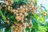 Meyve longan Chiang Mai — Stok fotoğraf