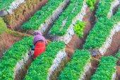 Strawberry garden at Doi Ang Khang — Stock Photo