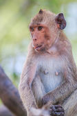 Cute crab-eating macaque — Stock Photo
