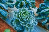 Frosted vegetables in  field — Stock Photo