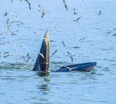 Wal Essen Fisch in Thailand — Stockfoto