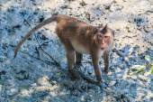 Crab-eating macaque in Thailand — Stock Photo