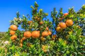 Ripe tangerines tree — Stock Photo