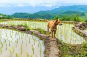 Dog at rice field — Stock Photo