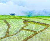 Rice fields in thailand — Stock Photo