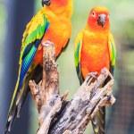 Постер, плакат: Sun Conure Parrots