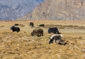 Grazing yak — Stock Photo