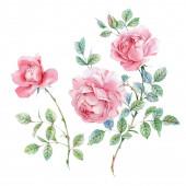 Watercolor pink English roses — Stock Photo