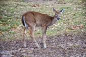 Deer 9352 — Stock Photo