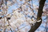 Japanese white flower sakura — Stock Photo