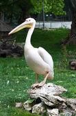 Great white pelican — Stock Photo