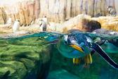 Swimming penguin looking underwater — Stock Photo