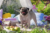 Pug-dog on a picnic party — Stock Photo