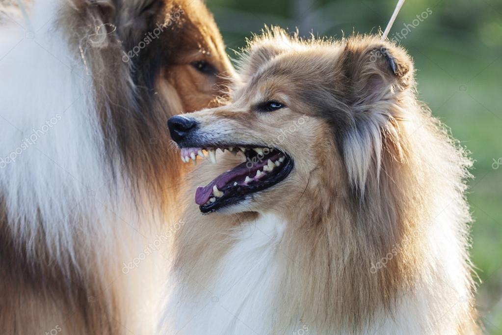 一个发怒的狗的牙齿拍摄户外在上夏天的绿色草地上设得兰群岛牧羊犬