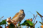 House sparrow bird sitting on the fence — Stock Photo