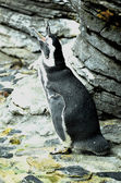 Penguin on a rocks — Stock Photo
