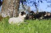Lamb lying in grass — Stock Photo