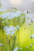 Beautiful fresh white flowers , abstract dreamy floral backgroun — ストック写真