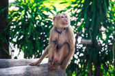 Macaque monkey chained — Stock Photo