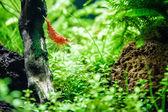 Aquarium shrimp Neocaridina heteropoda var. red — Stock Photo
