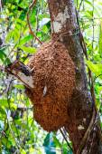 Termite nest on a tree — Stock Photo