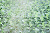 Hydrophonic plantation of vegetable salad — Stock Photo