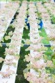 Red oak plants on hydrophonic farm — Stock Photo