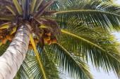 Coconut plam tree — Stock Photo